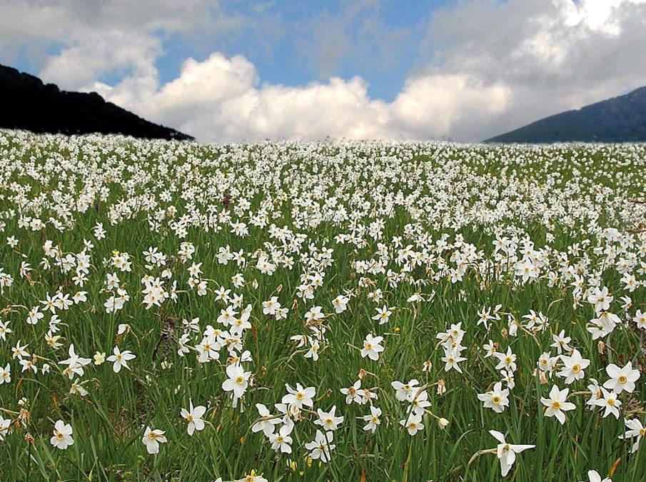 Gli ultimi prati di narcisi e orchidee – escursione botanica